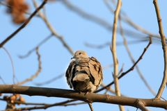 Indian dove. Beautiful shot of indian dove bird Royalty Free Stock Images