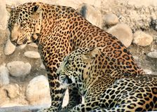 Leopards. Beautiful shot of indian leopards Stock Photos