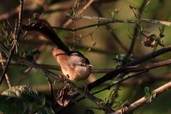 Indian robin bird. Beautiful shot of indian robin bird in sunny day Stock Photos