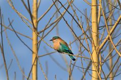 Indian roller Royalty Free Stock Photography