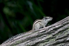 Indian squirrel royalty free stock photos