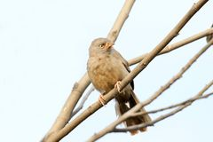 Jungle babbler Royalty Free Stock Photo