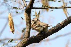 Jungle spotted owl Stock Photo