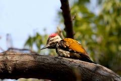 Lesser golden backed woodpecker Stock Images