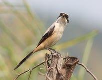 Long tailed shrike royalty free stock photography