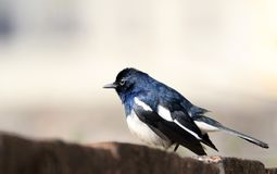 Orientel magpie-robin Stock Image