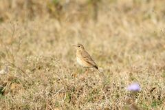 Paddyfield pipit Royalty Free Stock Image