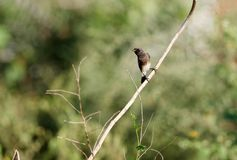 Pied bush-chat stock photo