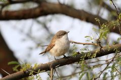 Plain prinia Royalty Free Stock Image