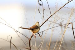 Plain prinia Stock Images
