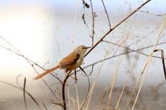 Plain prinia Royalty Free Stock Photos