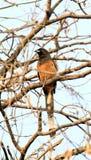 Plaintive cuckoo. Beautiful shot of plaintive cuckoo bird Stock Images