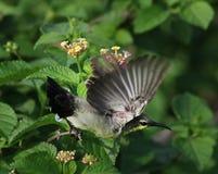 Purple sunbird stock photography