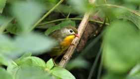 Red billed leiothrix royalty free stock photography