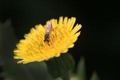 Honey sucker. Beautiful shot showing small bee sucking honey from flower Royalty Free Stock Image