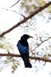 Spangled drongo. Beautiful shot of spangled drongo with beautiful background stock photo