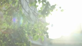 Sun glimmering through ferns. Beautiful shot of sun glimmering through ferns. Green leaves and sun with beautiful lens flare against the sky stock video footage