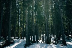 Beautiful shot of a thick forest during Winter. A beautiful shot of a thick forest during Winter royalty free stock photo