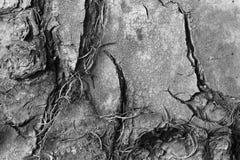 Tree bark. Beautiful shot of tree bark in black and white Royalty Free Stock Image