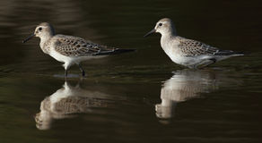 A beautiful shot of two calidris birds in a pond with reflections Royalty Free Stock Images