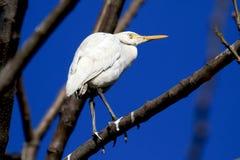 White egret Royalty Free Stock Photos
