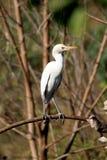 White egret Stock Photography