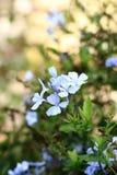 White ixora flowers Stock Images