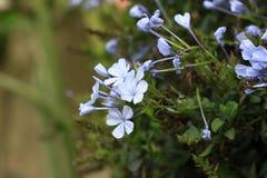 White ixora flowers Royalty Free Stock Images