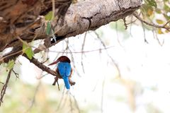 White throated kingfisher royalty free stock photography