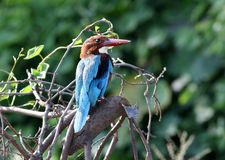 White throated kingfisher stock images