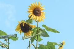 A beautiful shot of a yellow sunflower with an erect stem against a clear blue sky background Royalty Free Stock Photo