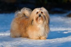 Beautiful havanese dog stands in a snowy park Royalty Free Stock Image