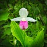 Showy Lady's-slipper - Cypripedium reginae - Minnesota State Flower in the wild. Showy Lady's-slipper - Cypripedium reginae - Minnesota State Stock Images