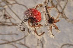 Beautiful shrub with red fruits covered with white frost Royalty Free Stock Image