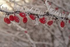 Beautiful shrub with red fruits covered with white frost Royalty Free Stock Photos