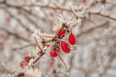 Beautiful shrub with red fruits covered with white frost Stock Photos