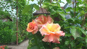 Beautiful shrub roses rose on the background of country house. Wasp flies up and sits on the delicate petals of a rose stock video footage