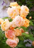 Beautiful shrub of Yellow, pink roses. Yellow and orange roses growing in the garden royalty free stock photography