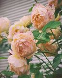 Beautiful shrub of Yellow, pink roses. Vintage photo of pink, yellow roses. Beautiful shrub of Yellow, pink roses. Yellow and orange roses growing in the garden royalty free stock photography