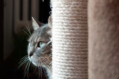 Free Beautiful Shy Cat Hiding Behind His Scratching Post. The Light Light On His Big Green Eyes And Long Wiskers Royalty Free Stock Photography - 165109677