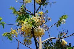 The beautiful of Siam White Cassia flowers royalty free stock image