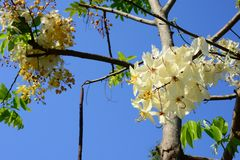 The beautiful of Siam White Cassia flowers stock photos
