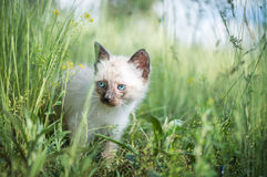 Beautiful Siamese cat. With blue eyes in nature Stock Image