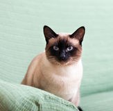 Beautiful siamese cat Stock Photography