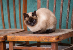 Beautiful siamese cat having rest Royalty Free Stock Photos
