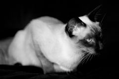 Beautiful Siamese cat Stock Photography