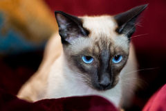 Beautiful Siamese cat Royalty Free Stock Photos