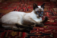 Beautiful Siamese cat Stock Photo