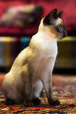 Beautiful Siamese cat Stock Image