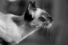 Beautiful Siamese cat Royalty Free Stock Image